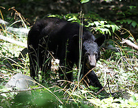 A bear in the blue ridge mountains.