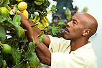 Man picking lemons, side view