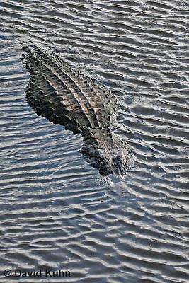 0709-0802  American Alligator - Alligator mississippiensis  © David Kuhn/Dwight Kuhn Photography