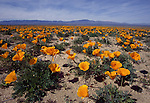 California poppies in the Antelope Valley