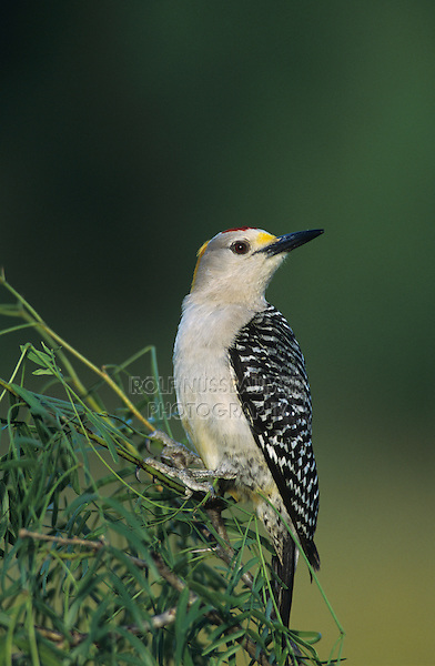 Golden-fronted Woodpecker, Melanerpes aurifrons, male, Willacy County, Rio Grande Valley, Texas, USA, May 2004