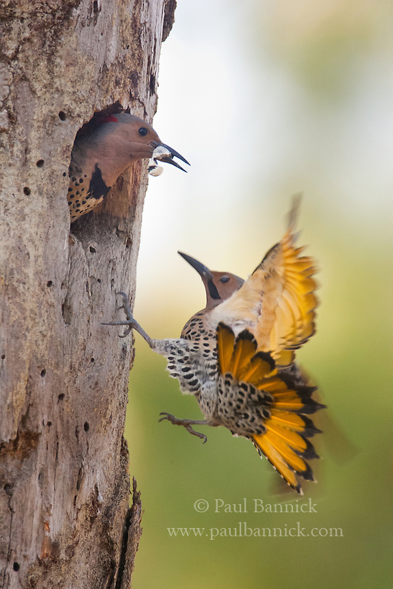 A male Northern Yellow-shafted Flicker is startled after finding his mate exiting the nest cavity just as he arrives. Northern Flicker cavities are used by more animals than any other cavity.