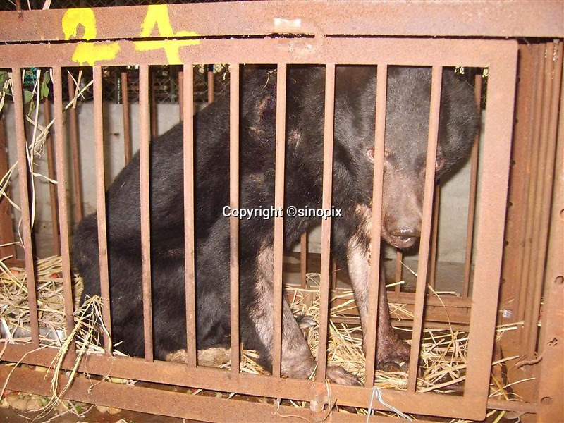"Bear named ""Chengdu Truth"" was rescued in Chengdu, Sichuan, China conducted by Animals Asia Foundation. Chengdu Truth was dead finally. The foundation rescued 28 ""moon"" bears from horrendous bear-bile farms in the area. Animals Asia is run and founded by UK national Jill Robinson, M.B.E."