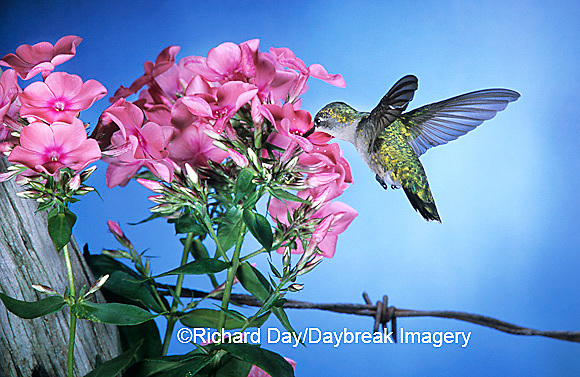 01162-062.14 Ruby-throated Hummingbird (Archilochus colubris) female at Garden Phlox (Phlox paniculata) Shelby Co. IL