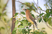 01415-02205 Cedar Waxwing (Bombycilla cedrorum) eating Shadblow Serviceberry  (Amelanchier canadensis) Marion Co. IL