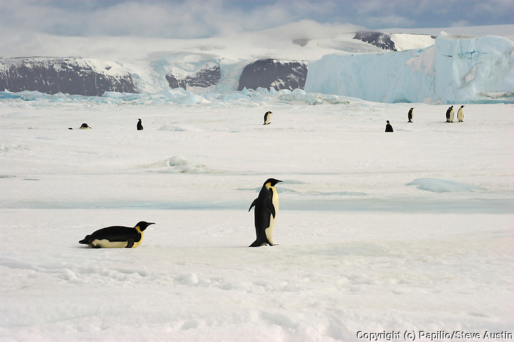 Emperor penguin, Aptenodytes forsteri, adults on fast ice, Snow Hill Island, Erebus and Terror Gulf, Antarctic Peninsula, Antarctica