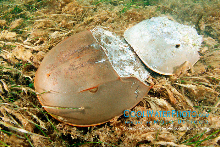 horseshoe crabs, mating .(larger female at bottom), .Limulus polyphemus, .Florida Bay, Everglades National Park..
