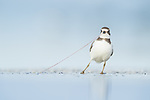 Semipalmated Plover's tug of war with a worm by Greg Gard