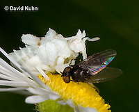 0910-0803  Ambush Bug Nymph Consuming Prey - Phymata spp. Virginia - © David Kuhn/Dwight Kuhn Photography.