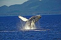 Humpback Whale (Megaptera novaeangliae) breaching.  Alaska.