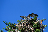 Osprey  spreading wing over their nest