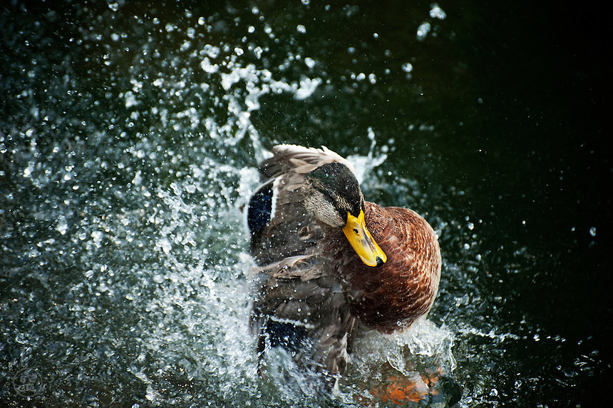 A young male mallard duck explodes out of the water with a splash.