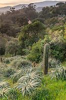 France, Le Domaine du Rayol: le jardin du Chili, Puya (Puya berteroniana & Puya alpestris) et Echinopsis chiloensis (or Echinocereus chiloensis).
