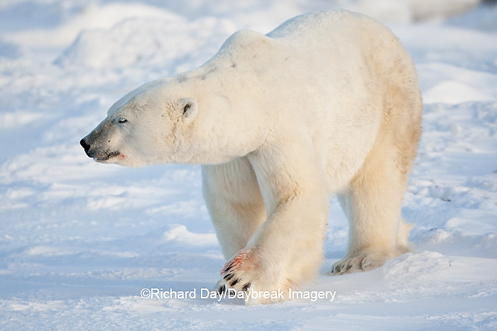 01874-11911 Polar Bear (Ursus maritimus) in snow, Churchill Wildlife Management Area, Churchill, MB Canada