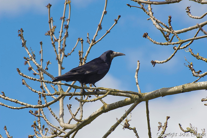 Crow in a tree, Dumfries, Scotland.
