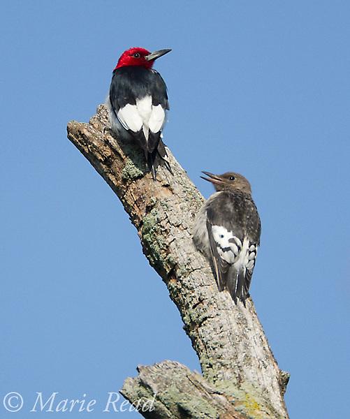 Red-headed Woodpeckers (Melanerpes erythrocephalus) adult (upper) and juvenile, Montezuma National Wildlife Refuge, New York, USA