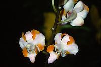 Doritis pulcherrima var. champorensis orchid