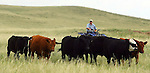 Glen Kirkbride uses an ATV to herd cattle on the Harding and Kirkbride Ranch northeast of Cheyenne. Michael Smith/staff.