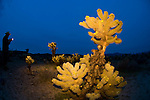 Cholla cactus against the stormy cobalt sky at night, Joshua Tree National Park, Calif.