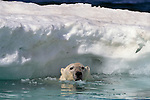 A polar bear pokes its head out of the water near an ice floe in Canada.