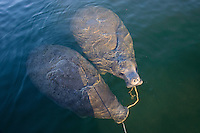 Trichechus manatus latirostris, Florida Seekuehe mit Ankereil im Mund, Nagel oder Karibik Manati, West Indian manatees with anchor rope in mouth, Sea Cows, Kings Bay, Crystal River, Citrus County, Florida, United States, USA, Februar 2014