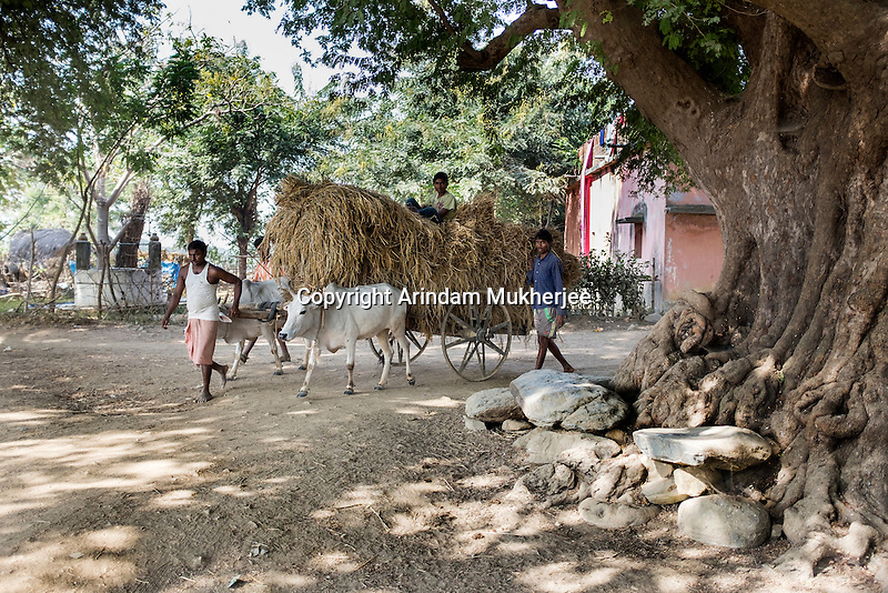 Farmers carry bales of straw on a bullock cart in Rondih. The village with 60 homes and a population of around 600 has three cases of physical deformities. The villagers drink and cook with the water of wells and deep tube-wells, and use pond water to wash.