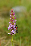 Orchidée avec insecte. ile d'Inishmore.Orchid with insect. Insihmore island