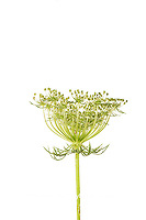 30099-00710 Queen Anne's Lace (Daucus carota) (high key white background) Marion Co. IL