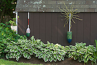Shade garden of hostas with boat ornaments agains shed barn