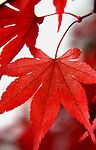 Japanese Maple Leaf in Fall -Red