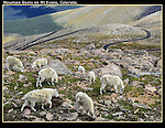 Mountain Goats feel comfortable near the road and people on Mt Evans (14250 feet), west of Denver, Colorado. Guided photo tours.