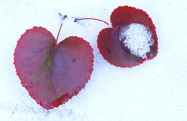 Heart-shaped Leaves in Snow