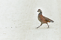 Male Northern Bobwhite prancing, mid step across a dirt road