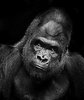 WESTERN LOWLAND GORILLA<br /> Male Gorilla in Captivity<br /> A critically endangered species largely due to poaching and disease, most western lowland gorilla populations dwell in equatorial Africa or in captivity.