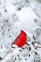 01530-20919 Northern Cardinal (Cardinalis cardinalis) male in American holly tree  (Ilex opaca) in winter, Marion Co., IL