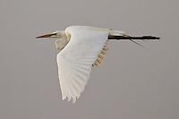 Great Egret in Flight, San Joaquin Wildlife Sanctuary