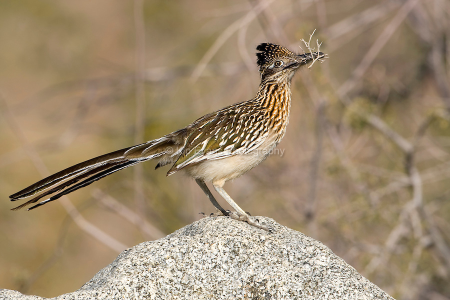 Greater Roadrunner in Death Valley National Park, California.