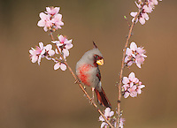 Pyrrhuloxia (Cardinalis sinuatus), male perched on blooming peach tree (Prunus persica), Starr County, Rio Grande Valley, South Texas, USA