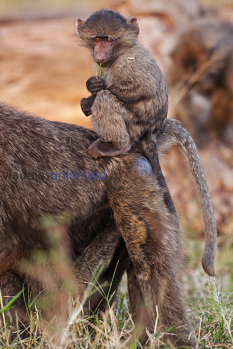 Olive Baboon baby aged 9-12 months sitting on his mothers back playing with a stem of grass (Papio cynocephalus anubis), Maasai Mara National Reserve, Kenya.