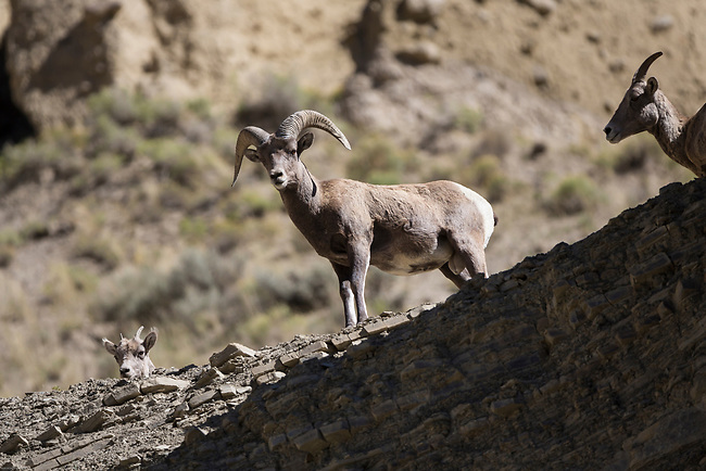 Big Horn sheep are found in the Rocky Mountains and the western areas of North America.  This family was hanging out on a rock shelf high above the Northwest exit road of Yellowstone National Park.