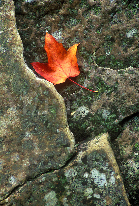Maple leaf on stone. Green Mountain National Forest, VT