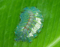 Euthalia butterfly Caterpillar resting on the side of a banana leaf.