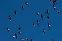 Ringelgans, Ringel-Gans, Ringel - Gans, Schwarm, Trupp im Flug, Vogelzug, Vogelschwarm, Branta bernicla, Brent Goose, Bernache cravant