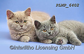 Marek, ANIMALS, REALISTISCHE TIERE, ANIMALES REALISTICOS, cats, photos+++++,PLMP6402,#a#, EVERYDAY