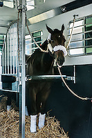 Thoroughbred race horse in a trailer on the way to a race.