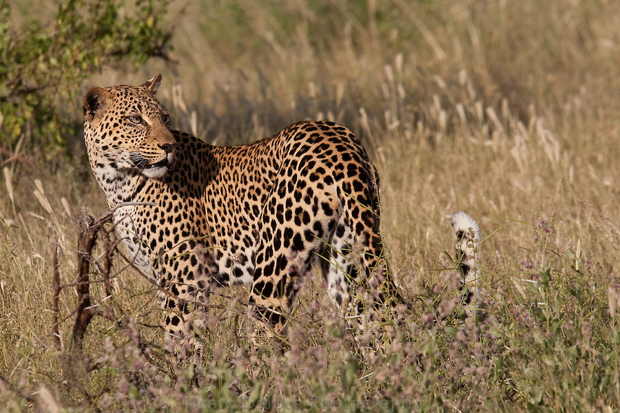 leopard in Samburu National park, Kenya