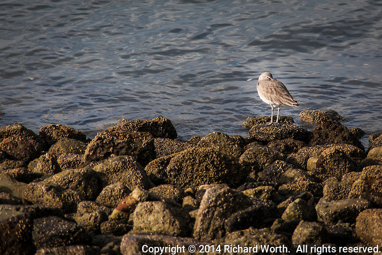 A Willet tucks its bill under its wing, appearing a bit bashful, among the rocks lining the San Francisco Bay Trail in San Leandro.