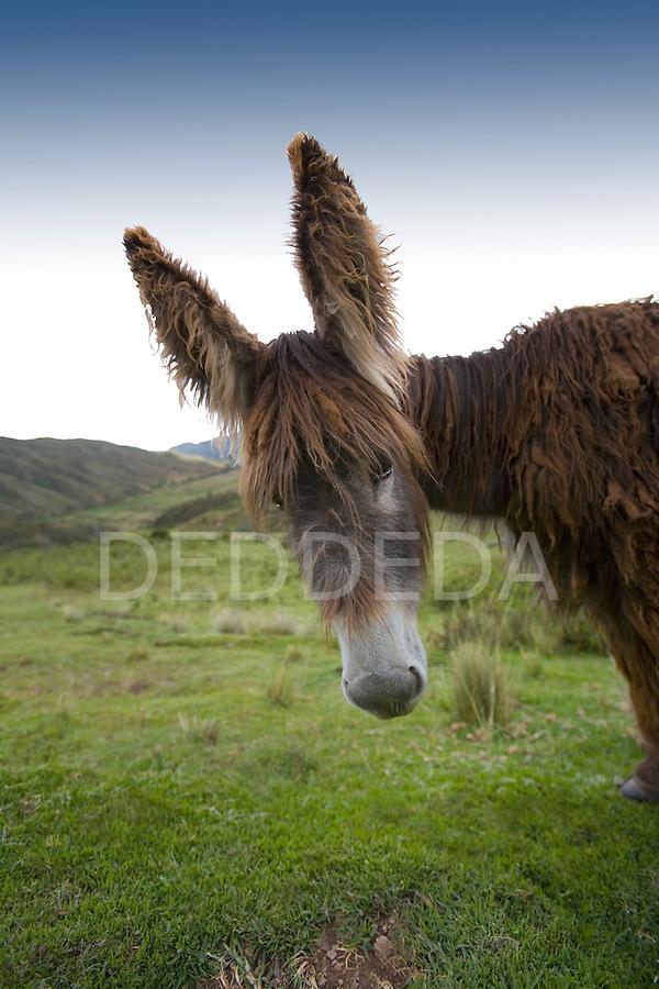 A donkey with big ears grazes in a field near Cuzco, Peru.