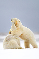 Polar bear cubs playfight on the snow in the arctic, Alaska.