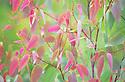 Pink new growth of a young eucalayptus tree, springtime, southeastern Australia,